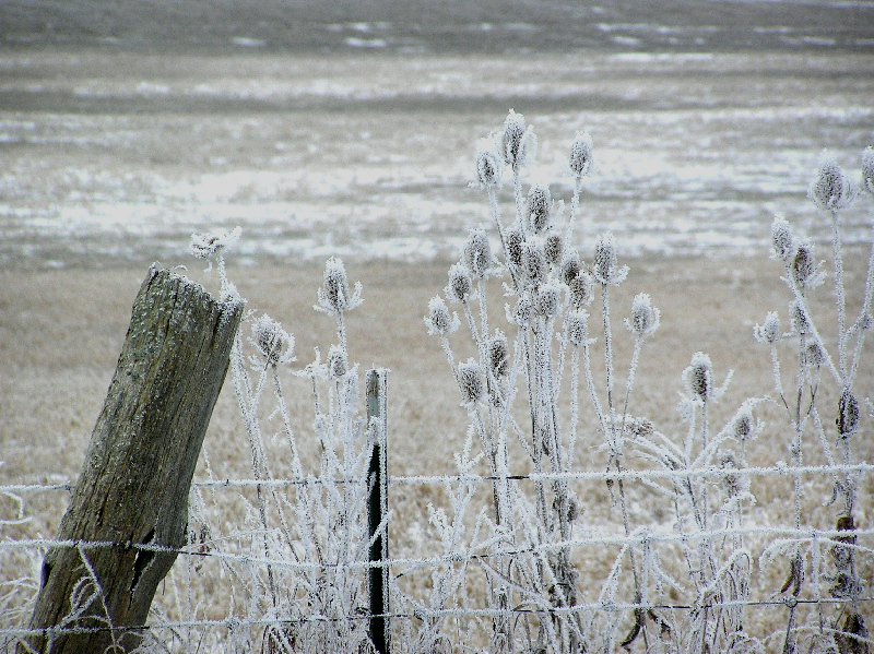 Icefogteasels