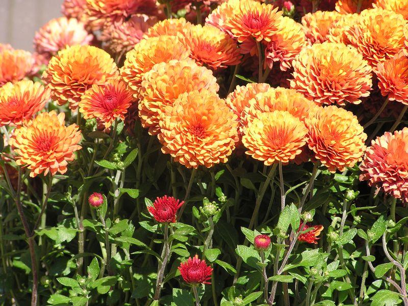 Orangemums