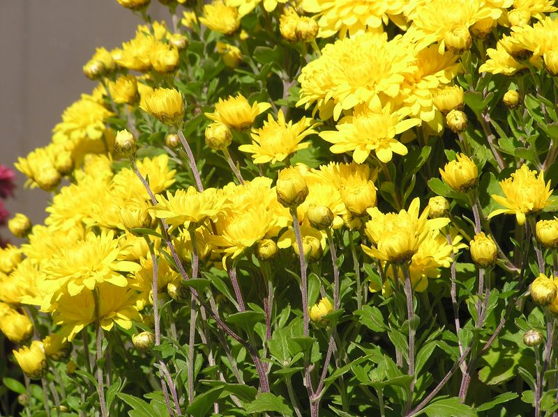 Yellowmums