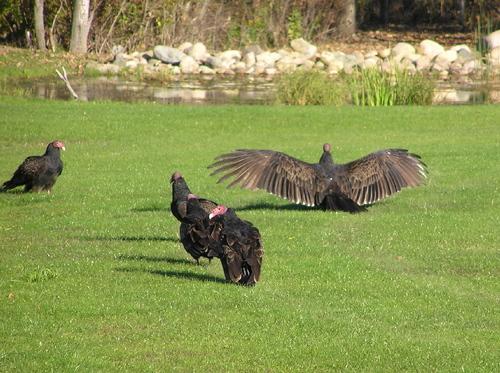 Vulturewings