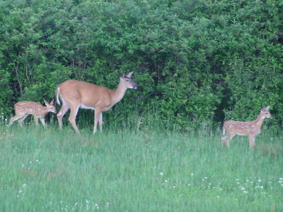 Doeandfawns2