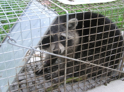 Trapped_raccoon