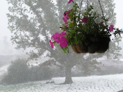 Snowpetunias