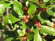 Winterberry_1