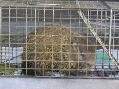 Woodchucktrapped